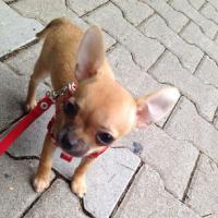 Super süßes Chihuahua Welpe Weibchen kurzhaar!!!!!