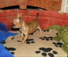 Foto 2 Super süßes Chihuahua Welpe Weibchen kurzhaar!!!!!