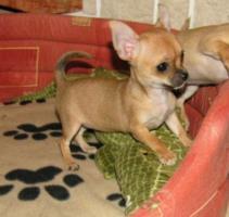 Foto 3 Super süßes Chihuahua Welpe Weibchen kurzhaar!!!!!