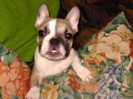 Foto 2 Supersüße Französische Bulldogge Rüde