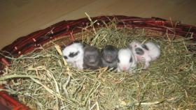 Supersüsse Zwergkaninchen-Löwenköpfchen-Babys