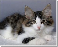 Suria's Cat's Norw. Waldkatzen hat noch ein Babie zu vergeben