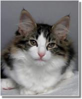 Foto 3 Suria's Cat's Norw. Waldkatzen hat noch ein Babie zu vergeben