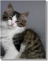 Foto 6 Suria's Cat's Norw. Waldkatzen hat noch ein Babie zu vergeben