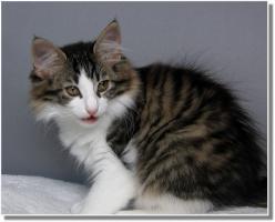 Foto 10 Suria's Cat's Norw. Waldkatzen hat noch ein Babie zu vergeben