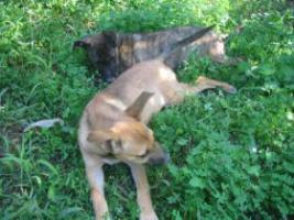 Foto 4 TATJANA - süßer Welpe sucht Familie (Tierschutzhund)