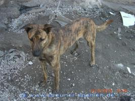 Foto 9 TIGRA – sie hat noch ihr ganzes Leben vor sich (Tierschutzhund)