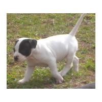 Foto 2 TOP Power American Pit Bull Terrier *10 Wochen*sehr kräftig*SDR Pedigree!!!