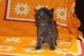 TYPENVOLLE PINSELMONSTERCHEN Maine Coon BLUE SOLID