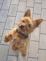 Tagesbetreuung Yorkshire-Terrier (Leverkusen)