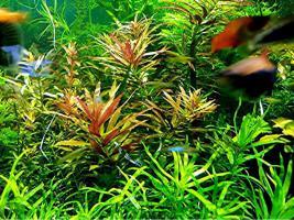 Tannenwedelähnlicher Sumpffreund, RARITÄT, Aquariumpflanzen, Versand