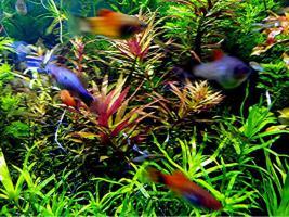 Foto 3 Tannenwedelähnlicher Sumpffreund, RARITÄT, Aquariumpflanzen, Versand