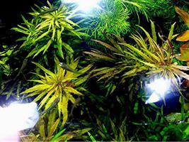 Foto 4 Tannenwedelähnlicher Sumpffreund, RARITÄT, Aquariumpflanzen, Versand