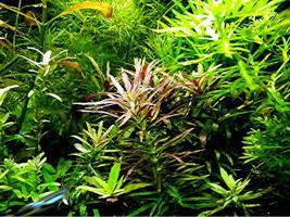Foto 7 Tannenwedelähnlicher Sumpffreund, RARITÄT, Aquariumpflanzen, Versand