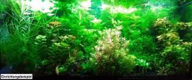 Foto 8 Tannenwedelähnlicher Sumpffreund, RARITÄT, Aquariumpflanzen, Versand