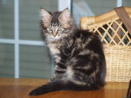 Tapvolle Maine Coon Kitten