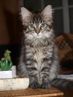 Foto 5 Tapvolle Maine Coon Kitten