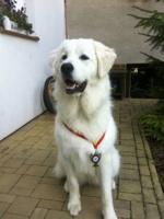 Foto 2 Tatra Schäferhund Welpen zu verkaufen
