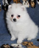 Teacup Pomeranian Hündinwelpe weiß, 6331-258619