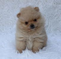 Foto 2 Teacup Pomeranian Hündinwelpe weiß, 6331-258619