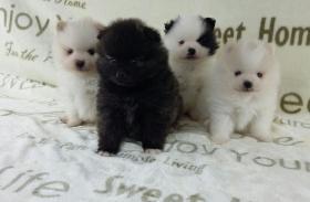 Foto 3 Teacup Pomeranian Hündinwelpe weiß, 6331-258619