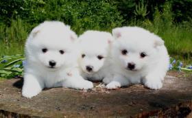Foto 5 Teacup Pomeranian Hündinwelpe weiß, 6331-258619