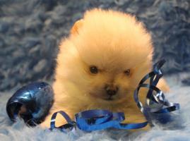 Foto 6 Teacup Pomeranian Hündinwelpe weiß, 6331-258619