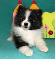 Foto 7 Teacup Pomeranian Hündinwelpe weiß, 6331-258619