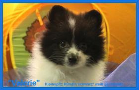 Foto 8 Teacup Pomeranian Hündinwelpe weiß, 6331-258619