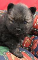 Foto 9 Teacup Pomeranian Hündinwelpe weiß, 6331-258619