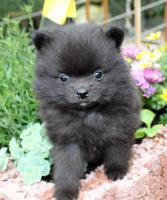 Foto 10 Teacup Pomeranian Hündinwelpe weiß, 6331-258619