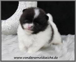 Foto 11 Teacup Pomeranian Hündinwelpe weiß, 6331-258619