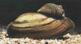 Teichmuscheln ab 1,50 Euro // Fa.Fördefisch