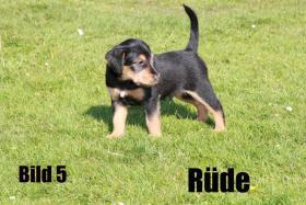 Foto 2 Terrier - Mix Welpen