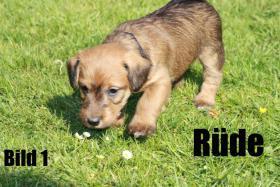 Foto 3 Terrier - Mix Welpen