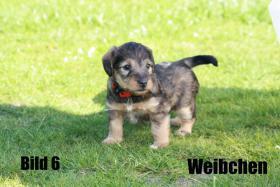 Foto 6 Terrier - Mix Welpen