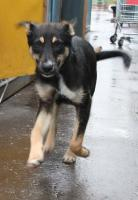 Foto 2 Terrier - Ost-Russischer Schäferhund 10 Monate