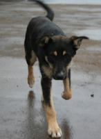 Foto 3 Terrier - Ost-Russischer Schäferhund 10 Monate