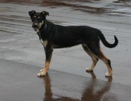 Foto 4 Terrier - Ost-Russischer Schäferhund 10 Monate