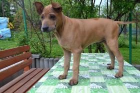 Foto 2 Thai ridgeback dog – letzte zwei Welpen