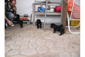 Foto 3 Tibet Terrier Welpen suchen neues zu Hause