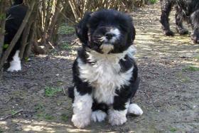 Foto 4 Tibet Terrier Welpen zu verkaufen