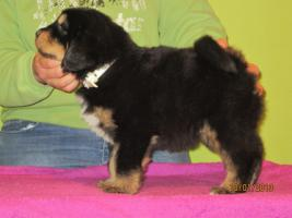 Foto 4 Tibetan Mastiff Welpen zu verkaufen
