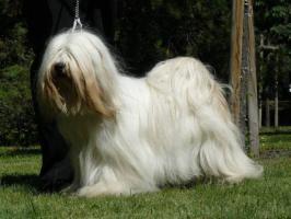 Tibetan Terrier - Welpen nur mit Papiere