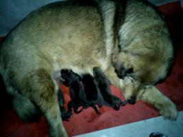 Foto 2 Tibetdogge Welpen mit Papiere