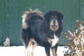Foto 5 Tibetdogge Welpen mit Papiere
