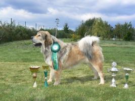 Foto 3 Tibetdogge, Tibetan Mastiff, DoKhyi