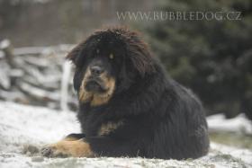 Foto 2 Tibetdogge, Tibetmastiff, Do Khyi Welpen Reservierung