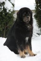 Foto 3 Tibetdogge, Tibetmastiff, Do Khyi Welpen Reservierung