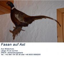 Tierpräperate alter Bestand Auerhahn ( ca. 70 Jahre Alt), Hirschkopf 10 Ender, Fasane
